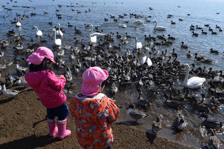 白鳥見学in猪苗代湖